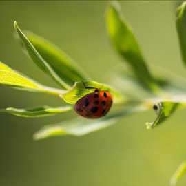 Ladybug by Jennifer Griephan - Nature Up Close Gardens & Produce ( nature, green, leaf, ladybug, insect,  )