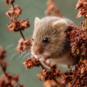 Mouse by Garry Chisholm - Animals Other Mammals ( mice, garry chisholm, mouse, nature, wildlife, rodent,  )