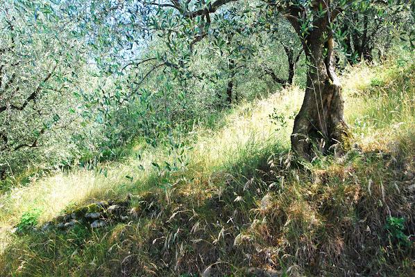 Armonia nel mezzo di olivi di Roberto58