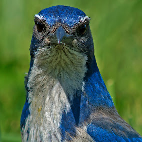 Inspector Blue Jay by Sparty Rodgers - Animals Birds ( d800, avian species, 300mm lens, jay, blue jay, scrub jay,  )