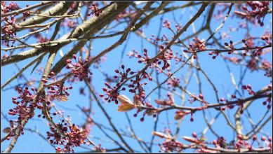 Photo: Corcodus ornamental rosu  (Prunus cerasifera Nigra) - de pe Calea Victoriei, Mr.3 - 2017.03.27