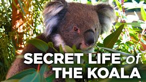Secret Life of the Koala thumbnail