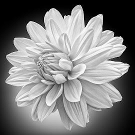 B&W flower 14 by Michael Moore - Black & White Flowers & Plants