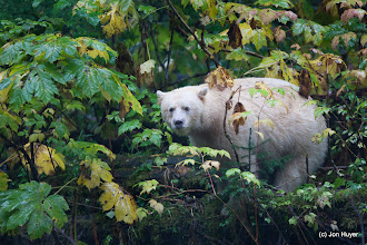 Photo: As a parting shot, a final look at the Spirit Bear.  Thanks for the amazing experience!  Mothership Adventures, you are definitely the best.