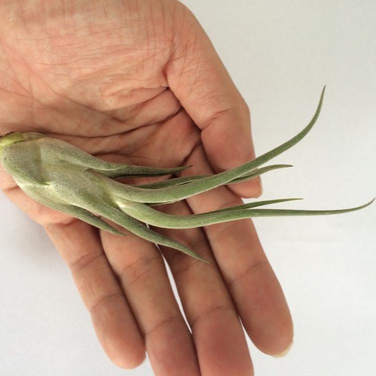 Air Plant - Tillandsia Caput Medusae Small