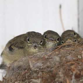 For the 3rd year in a row little flycatchers have made their summer home under the deck.  Look close and see 8 little eyes who have just about outgrown their nest.  Good thing they are in a corner. by Denise Parker - Animals Birds (  )