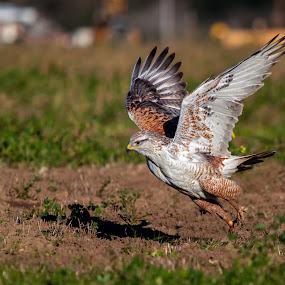 Ferruginous Hawk, Richmond Rd, morgan hill, California by Alex Sam - Animals Birds ( bird, ferruginous hawk, richmond rd, california, morgan hill, in flight, wings span, bird in flight, hawk )