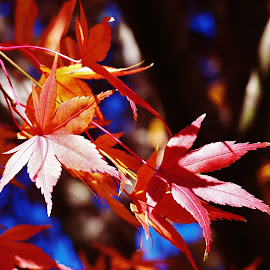 Autumn Leaves by Sarah Harding - Novices Only Flowers & Plants ( colour, nature, autumn, novices only, leaves )