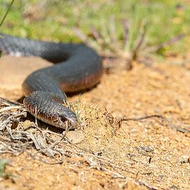 Close encounter by Greg Jones - Animals Reptiles ( tasmania, venomous, snake, reptile )