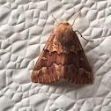 Achyra Moth