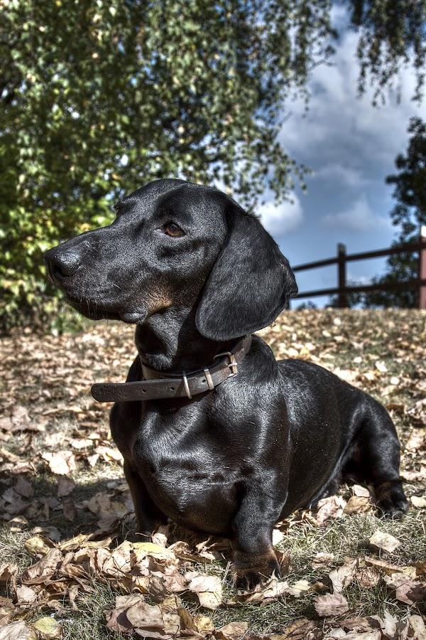 by Jerry Sjödin - Animals - Dogs Portraits ( black dog, sky, dachshund, outdoors, trees, dog portrait, leaves, dog,  )