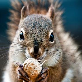 Squirrel by Daniel Schwarz - Animals Other