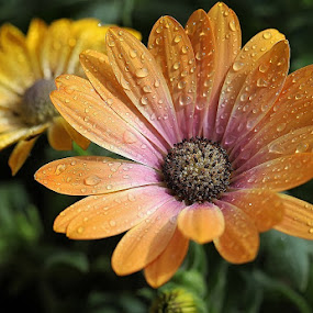 Happiness by Giovanna Pagliai - Flowers Single Flower ( brightness, plant, joy, colors, yellow, waterdrops )