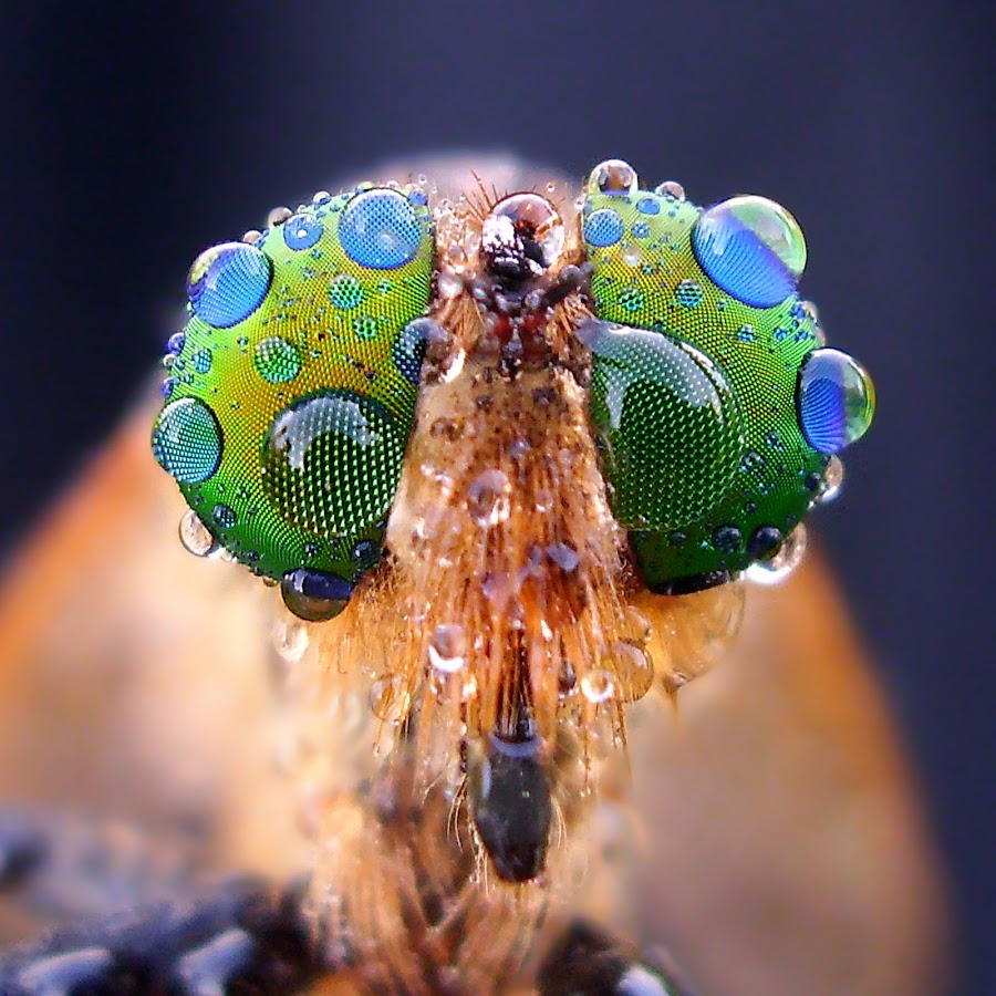 Robber's Eyes by Iwan Ramawan - Animals Insects & Spiders (  )