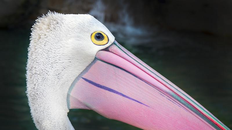 Pink Pelikan di Montevecchi