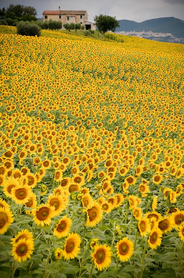 girasole by Frans Scherpenisse - Nature Up Close Flowers - 2011-2013 ( hill, sunflowers, yellow )