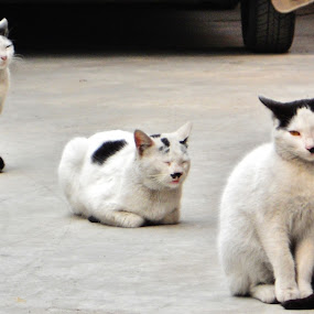 3some awesome by Projit Roy Chowdhury - Animals - Cats Portraits
