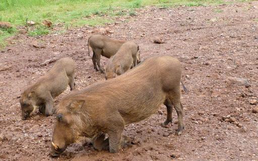 Warthogs Wallpaper Images