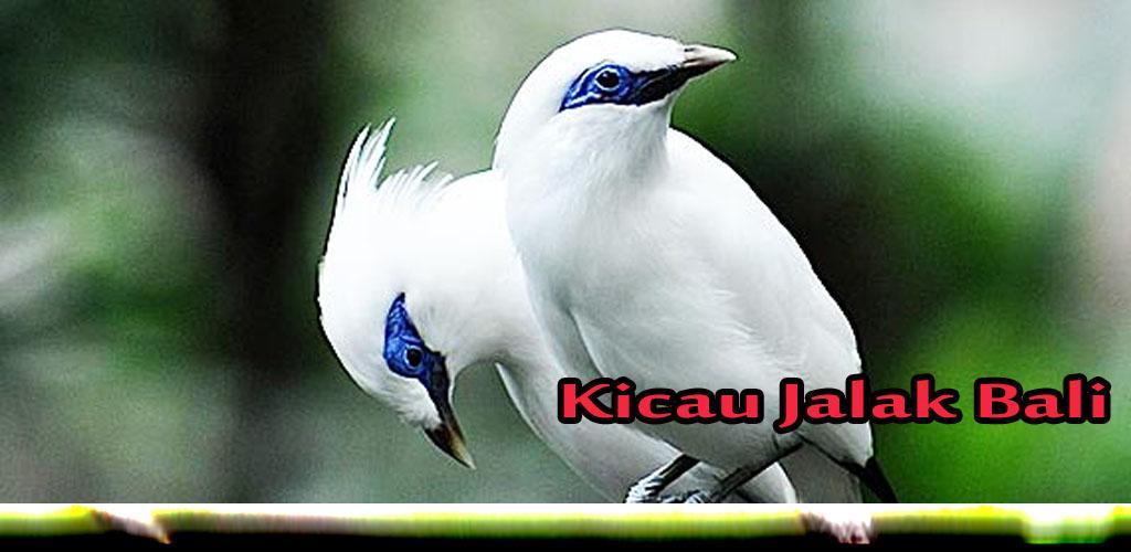Kicau Jalak Bali Master 1 1 Apk Download Com Newprojek
