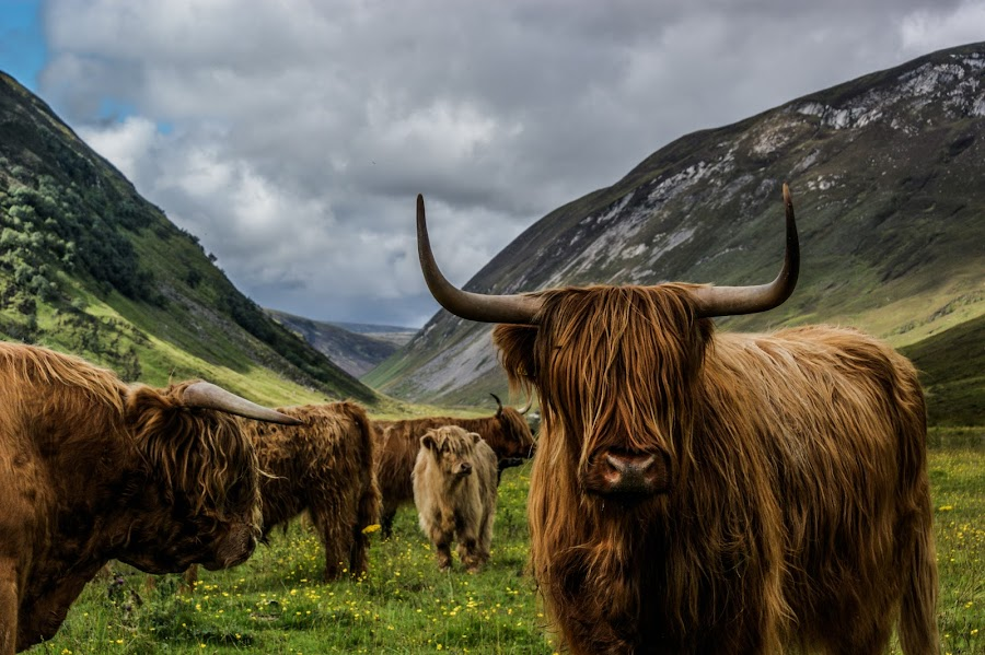 Scottish Cow by John Weaver - Animals Other Mammals ( hairy, glen, hill, scotland, animals, scottish, cow, horn, valley, bull )