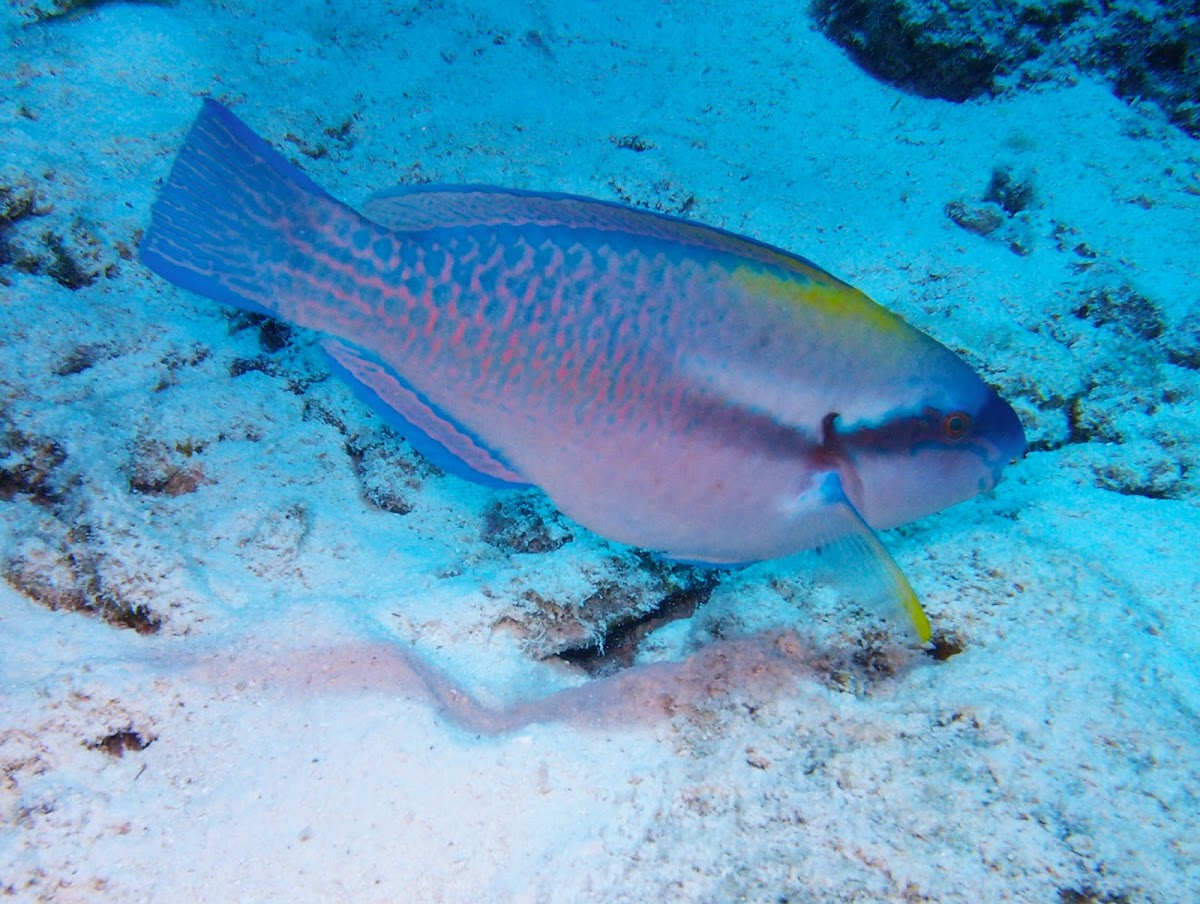 Striped Parrotfish ♂️