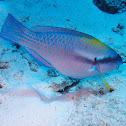 Striped Parrotfish ♂️