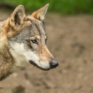 Eurasian Wolf.jpg
