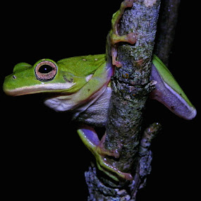 Green Treefrog (Hyla cinerea) by Lisa Powers - Animals Amphibians