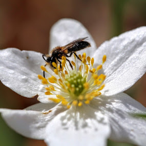 Spring time  by Eva Larsson - Flowers Flowers in the Wild ( insect flower spring feeding )