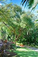 Photo: arbre à saucissons jardin botanique Deshaies