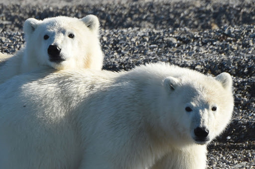 Ponant can take you to the inlets and bays of Canada to see polar bears in their native habitat.
