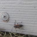 Largus Bug