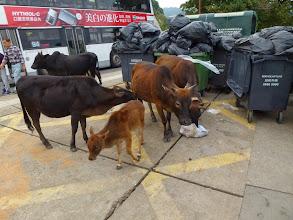 Photo: An encounter with a cow family in Saigon