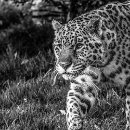 Jaguar by Garry Chisholm - Black & White Animals ( mammal, nature, big cat sanctuary, smarden, jaguar, garry chisholm )