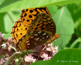 Photo: Great spangled fritillary (Speyeria cybele), 7.3.09