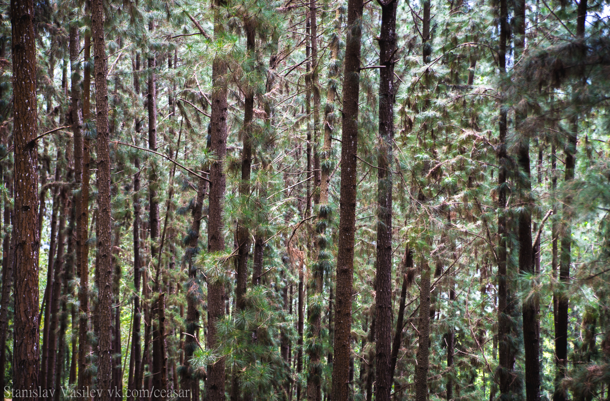 Хвойный лес Шри-Ланки