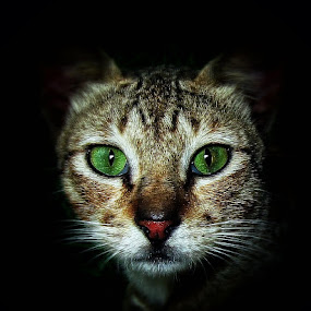 Stare Off by Penn De Los Santos - Animals - Cats Portraits ( cats, meow, kitty )