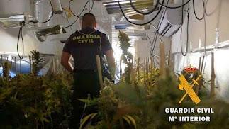 La Guardia Civil ha desmantelado una nueva plantación de marihuana.
