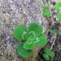 5 Leaf White Clover