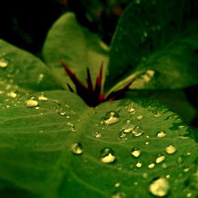 golden drops..... by Ashif Hasan - Nature Up Close Trees & Bushes