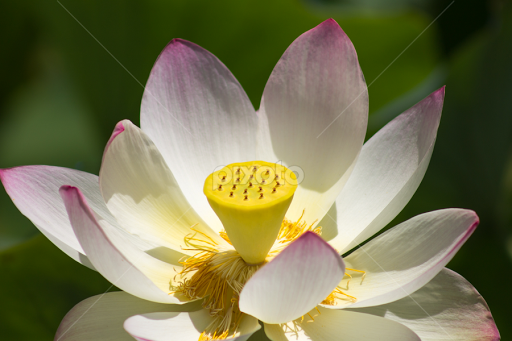 Echo Park Lotus Single Flower Flowers Pixoto
