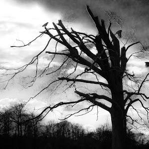 CROW TREE FINAL BW.jpg