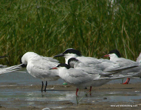 Photo: Forster's and Sandwich terns, Bolivar Flats Shorebird Sanctuary, upper Texas Coast