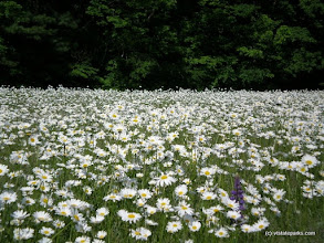 Photo: Field of daisies and one lonely lupine