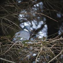 Photo: Bird N°49 Woodpigeon Latin:Columba palumbus