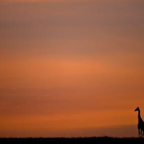 Giraffe silouette, Masai Mara Kenya by Ken Dyball - Animals Other ( masai mara kenya giraffe sunrise silouette )