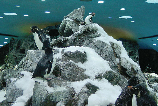 Some bird species, such as these rockhopper penguins (Eudyptes crestatus), have extreme temperature and humidity requirements