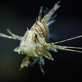 Lionfish by Scott Turnmeyer - Animals Fish ( fish, lionfish, saltwater, volitan )