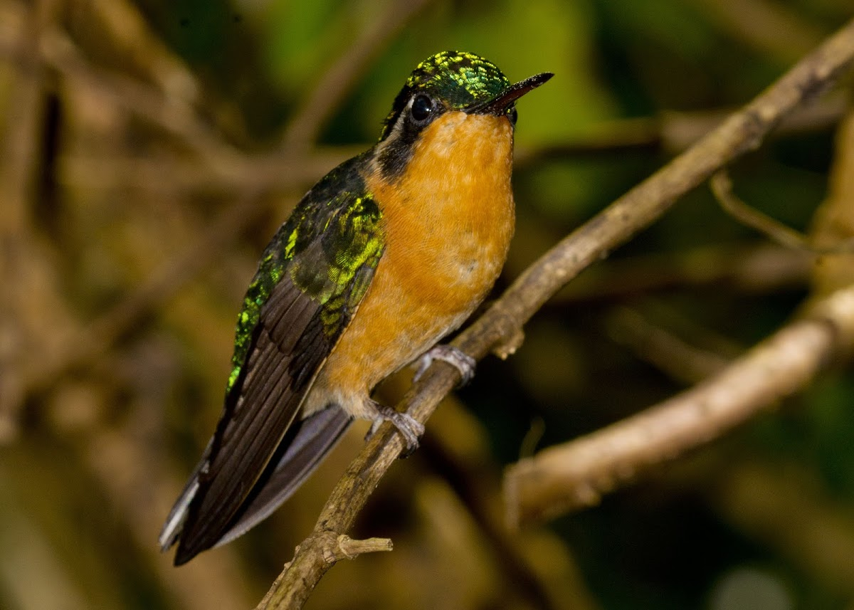 Purple-throated Mountaingem Hummingbird