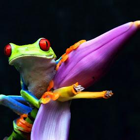 Gaudy Leaf frog by Roxana McRoberts - Animals Amphibians (  )